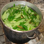 Ayahuasca Leaves in the Pot (icon)
